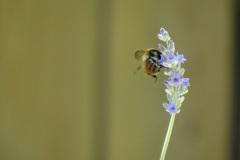 Une abeille butine un brin de lavande