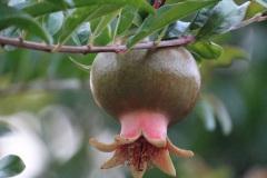 Le parc de Millefeuille regorge de fruits comme les grenades